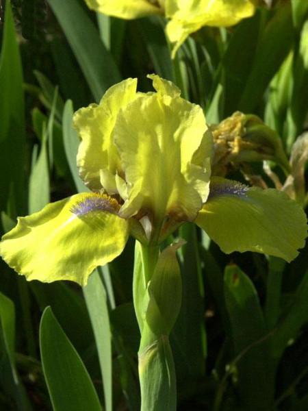 Iris x barbata-nana 'Baria', Zwerg-Bartiris, Zwerg-Schwertlilie