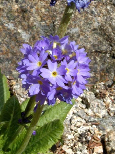 Kugel-Primel Blüte