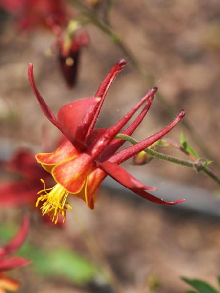 Aquilegia caerulea 'Crimson Star' syn. 'Rotstern', Rote Akelei, nordamerikanische Akelei