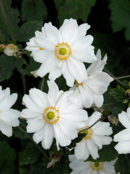 Attraktive Blüte der Herbstanemone 'Honorine Jobert'