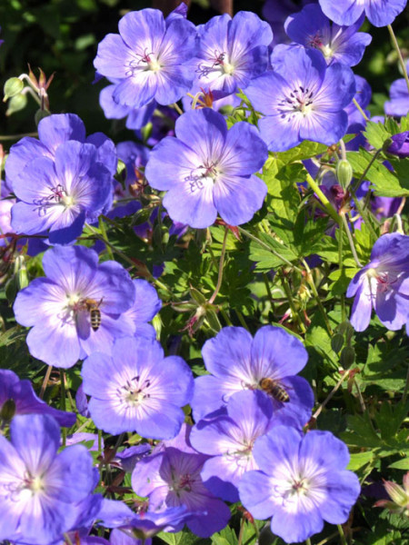 Blüte des Wiesen-Storchschnabels 'Rozanne'