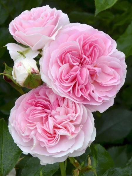 Blütenstand Rose Larissa