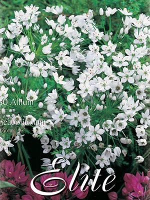 Allium 'Neapolitanum' (Art.Nr. 596324)