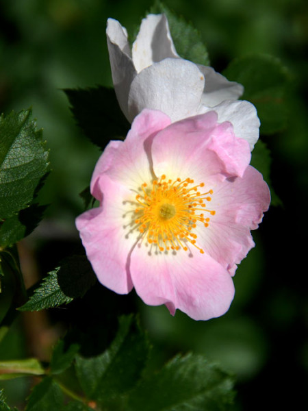 Rosa canina, Gemeine Heckenrose, Hundsrose