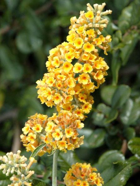 Gelbe Blüte des Sommerflieders 'Sungold'