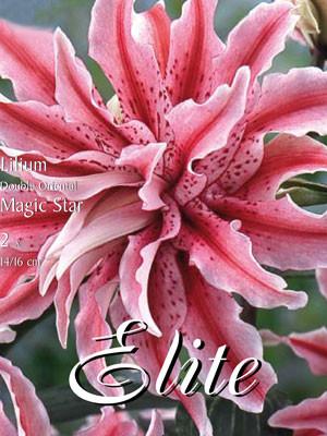 Orientalische Lilien-Hybride 'Magic Star', Lilium (Art.Nr. 521732)
