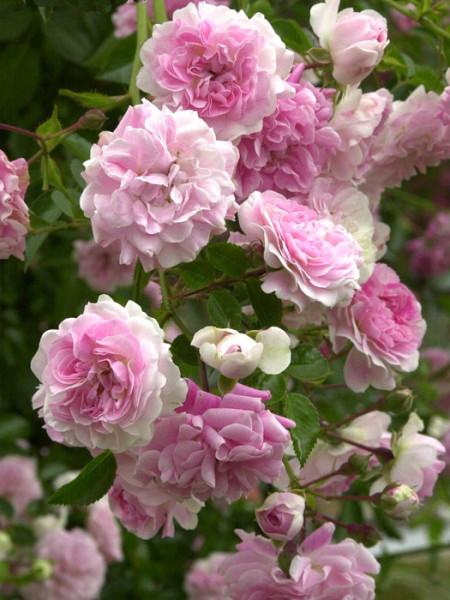 Blüte der Rose Super Dorothy