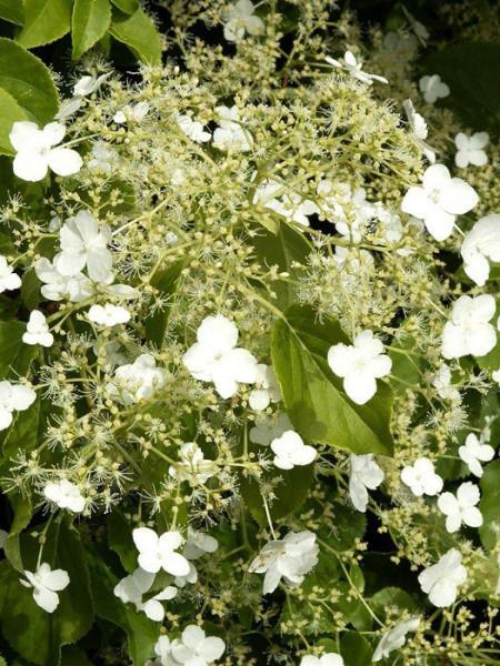 Blütenstand der Kletterhortensie