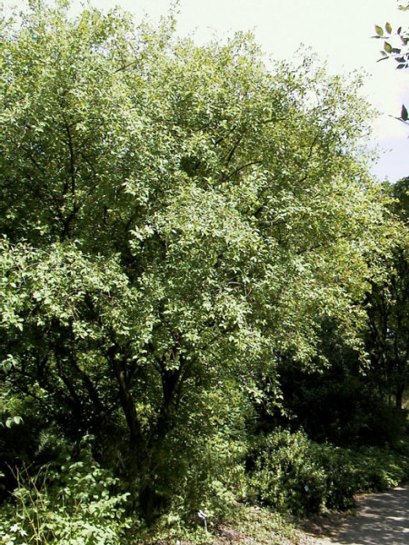 Euonymus europaeus, Pfaffenhütchen