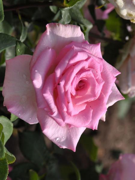 Rose Beverly ® - Kordes