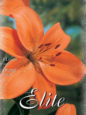 Asiatische Lilien-Hybride 'Orange', Lilium (Art.Nr. 521664)
