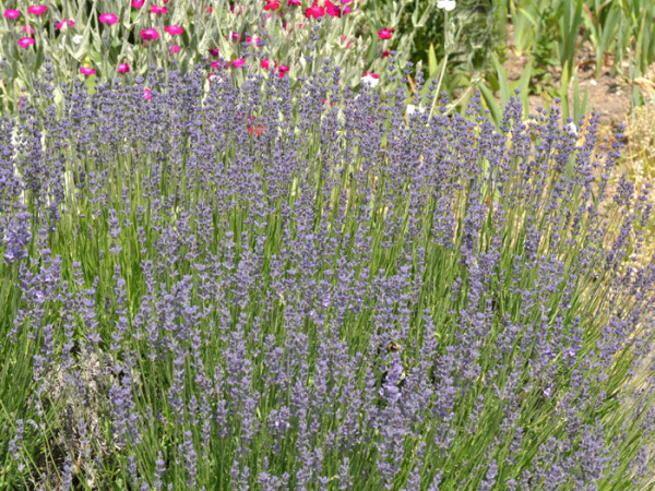 Zwerg-Lavendel Bodendecker