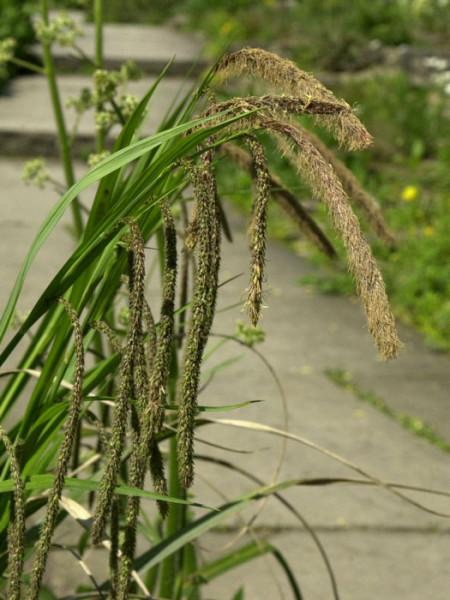Carex pendula, Riesen-Wald-Segge, Hänge-Segge