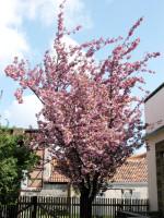 Prunus serrulata 'Kanzan', Nelkenkirsche