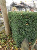 Taxus media 'Hillii', männliche Becher-Eibe