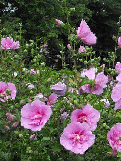 Roseneibisch Lavender Chiffon Strauch