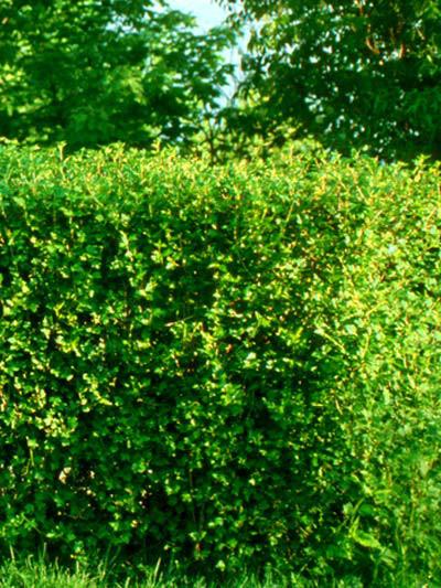 Ribes alpinum, Alpenjohannisbeere