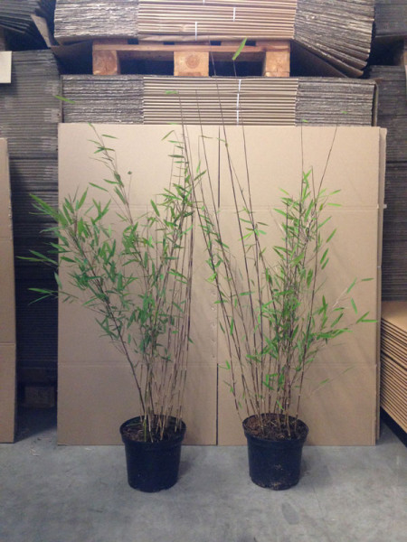 Fargesia nitida 'Black Pearl' - Glänzender Schirm-Bambus