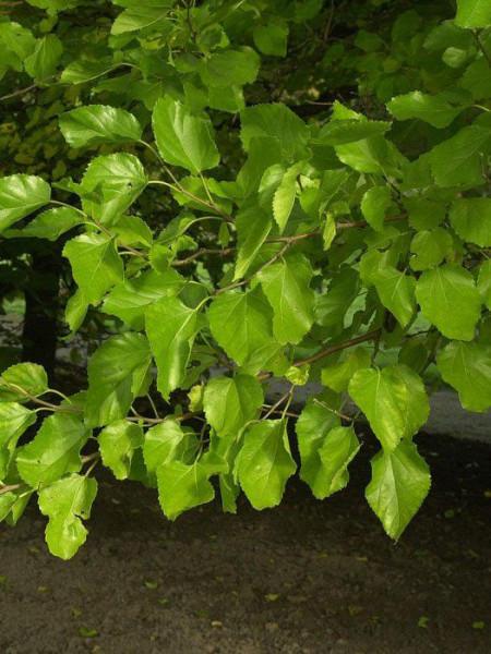 Morus alba, weiße Maulbeere