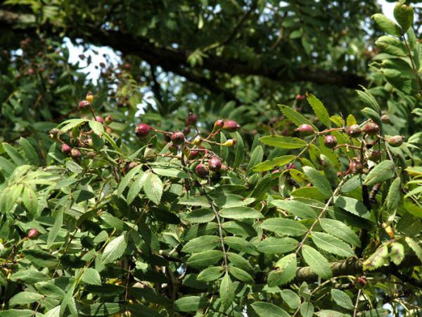 Speierling, Sorbus domestica