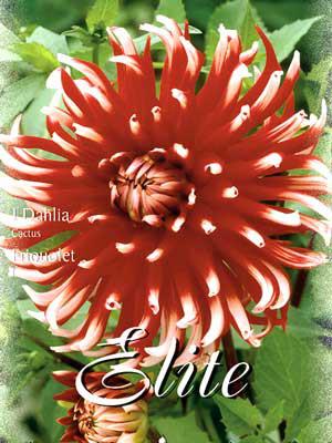 Kaktus-Dahlie 'Friquolet', Dahlia (Art.Nr. 520020)