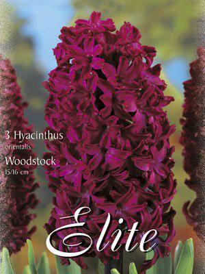 Hyazinthe 'Woodstock' (Art.Nr. 595032)