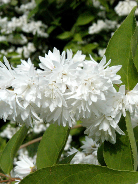 Blüte Deutzia magnifica