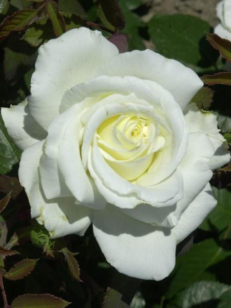 Rose Memoire