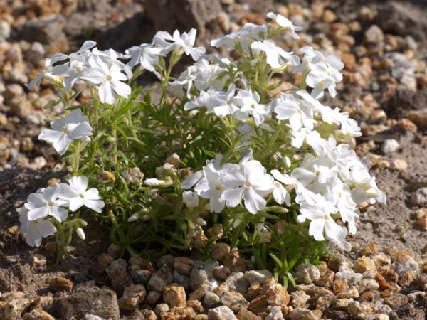 Phlox subulata 'White Delight', Polster-Phlox, Teppich-Phlox, Teppich-Flammenblume