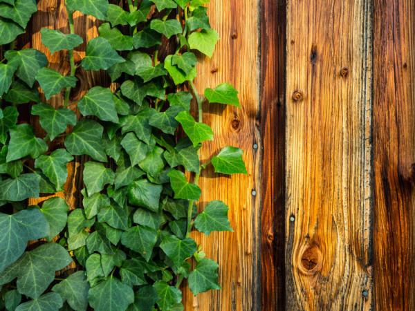 Der irische Efeu als dekoratives Element im Garten
