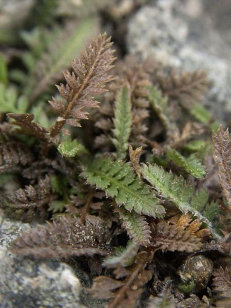 braun-grüne Belaubung des Fiederpolsters