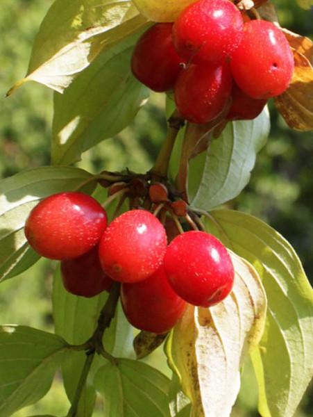 Frucht der Kornelkirsche 'Jolico'