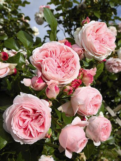 Rose Giardina mit nostalgischer Blüte