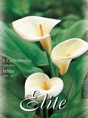 Calla 'Aethiopica', Zantedeschia (Art.Nr. 597420)