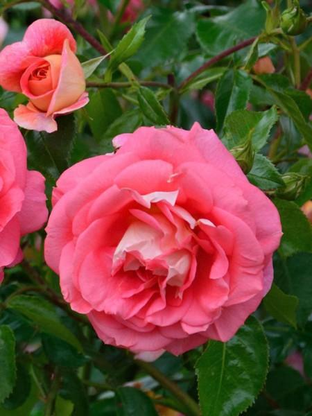Blüten der Rose Sommersonne
