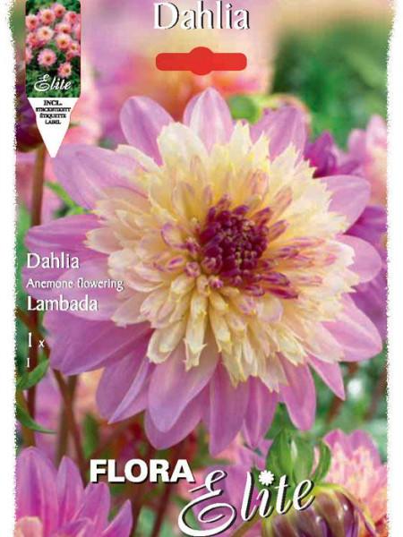 Anemonenblütige Dahlie 'Lambada', Dahlia (Art.Nr. 520649)