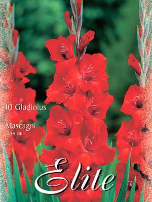 Großblumige Gladiole 'Mascagni', Gladiolus (Art.Nr. 521278)