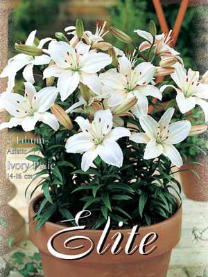 Topf- und Beet-Lilie 'Ivory Pixie', Lilium (Art.Nr. 521778)
