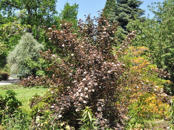 Rote Blasenspiere Diabolo Blumenbeet
