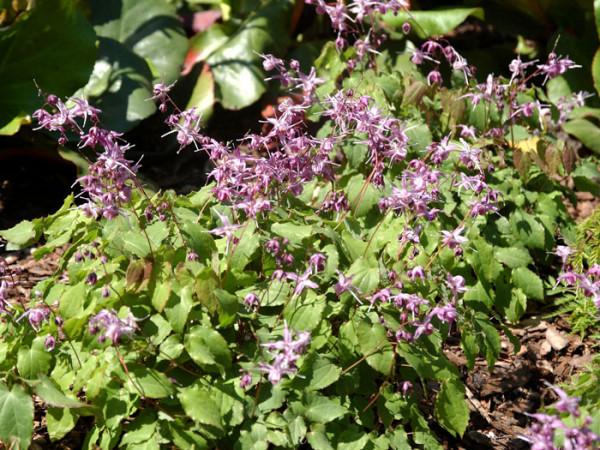 Die blühende Elfenblume 'Lilafee' im Beet