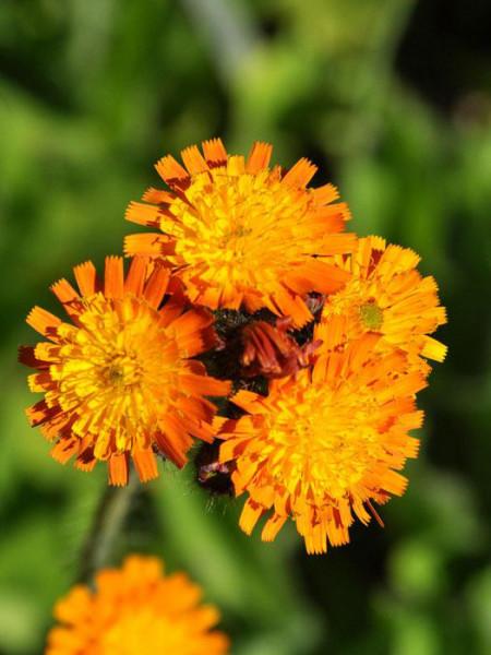 Die Blüte des orangeroten Habichtkrauts