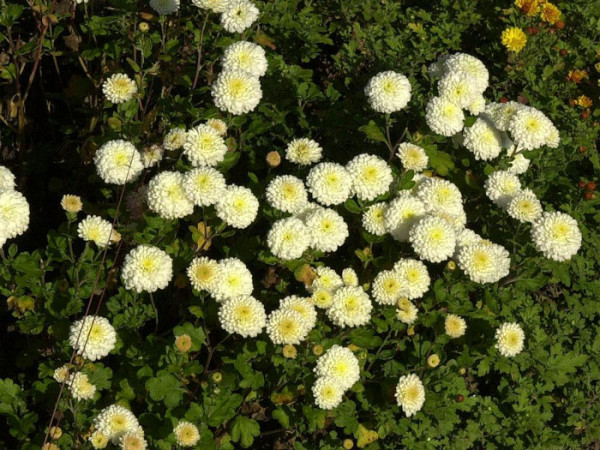 Chrysanthemum x hortorum 'White Bouquet', Winteraster, Gartenchrysantheme