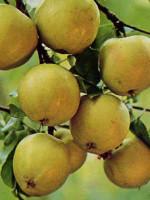 Apfel Grahams Jubiläumsapfel