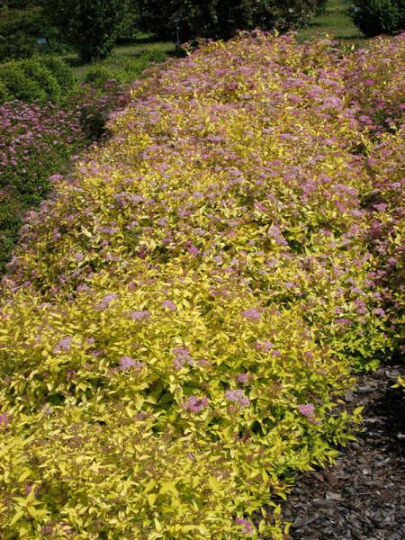 Spiraea japonica 'Golden Princess', Gelbe Zwergspiere