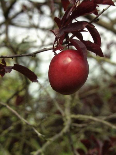 Blutpflaume Frucht