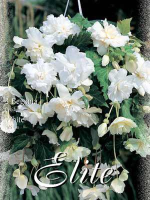 Hänge- oder Ampelbegonie 'White', Begonia pendula (Art.Nr. 520878)