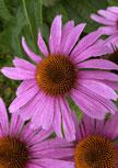 echinacea-magnus56d9863f3ade9
