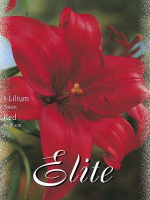 Asiatische Lilien-Hybride 'Rot' (Art.Nr. 597096)