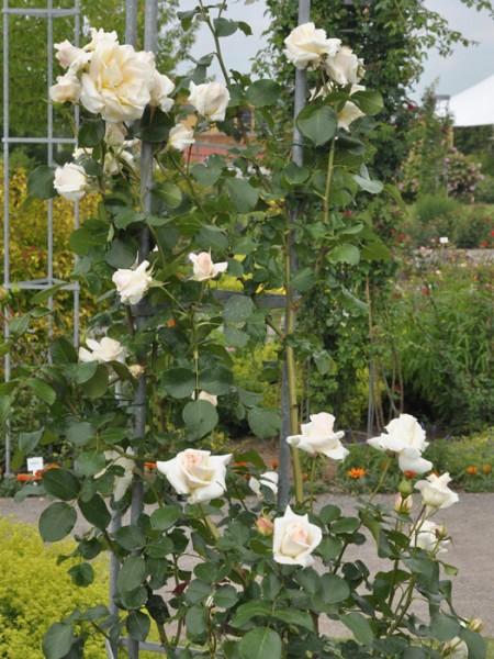 Blühende Rose Schneewalzer