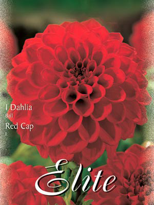Ball-Dahlie 'Red Cap', Dahlia (Art.Nr. 520492)